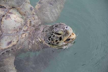 giant-turtle