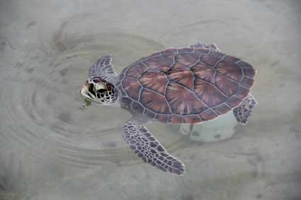 small-turtle